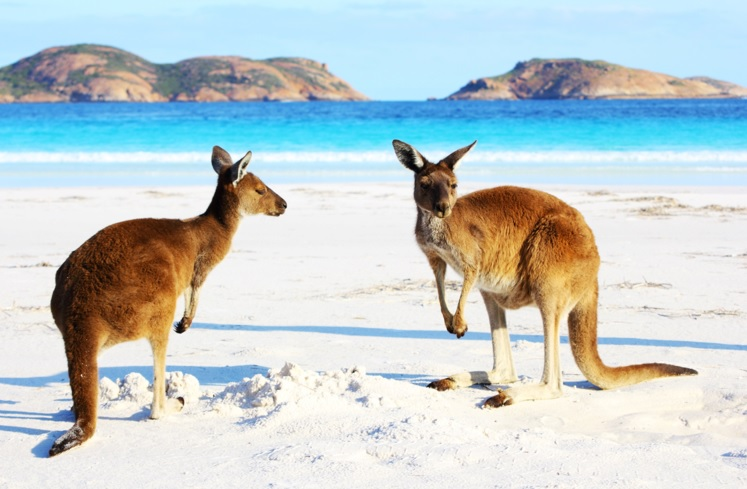 Kangaroos on beach in Western Australia